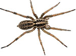 brown-house-spider